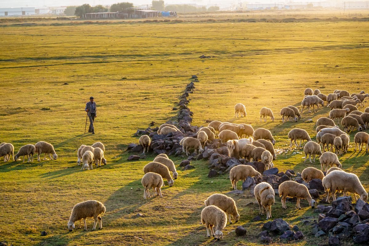 group of sheep on green grass field during daytime photo – Free Image on Unsplash